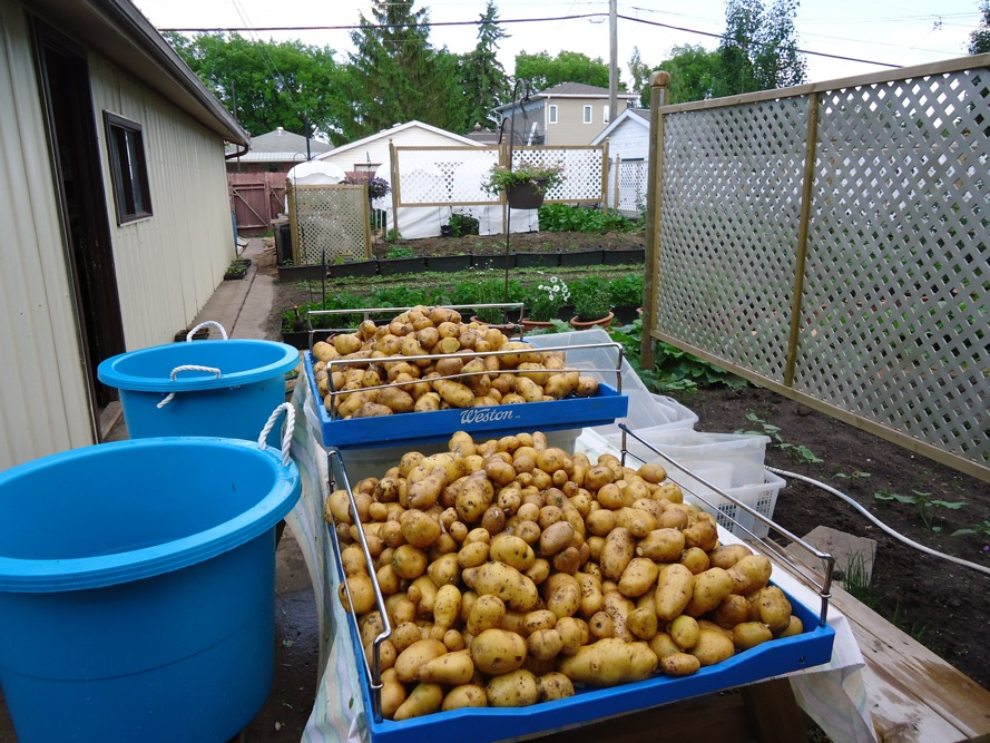 SPIN photo potatoes from storage for spring sales