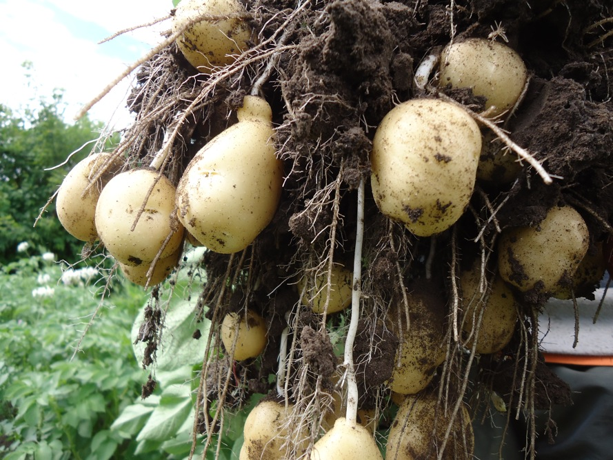 SPIN photo potatoes Bintje early