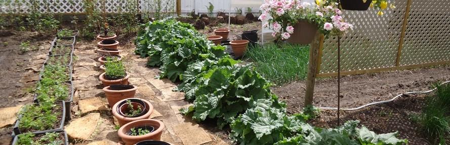 Rhubarb Has Sales Versatility